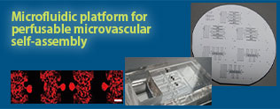 Microfluidic platform for perfusable microvascular self-assembly