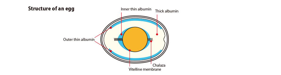 Structure of an egg